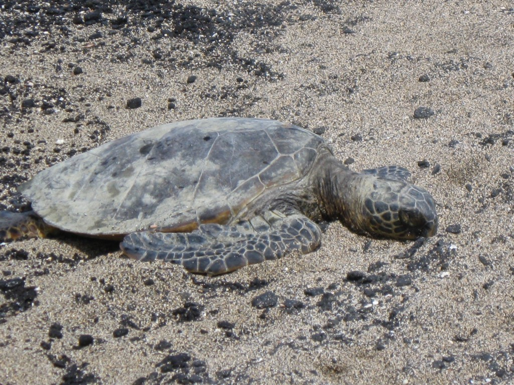 hawaii sea turtle on the beach